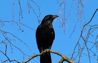 application pour faire fuir les corbeaux