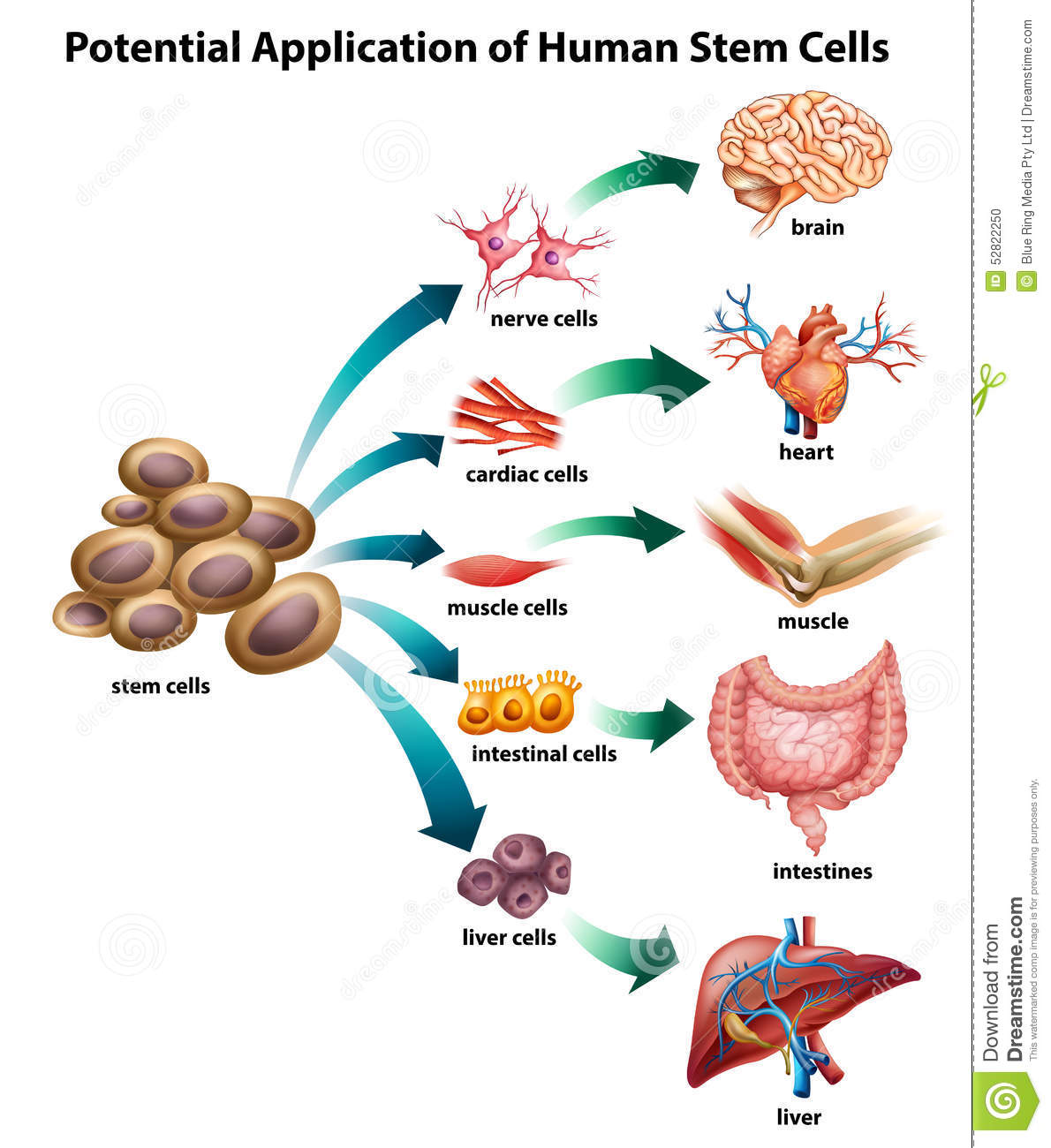 one application of stem cells
